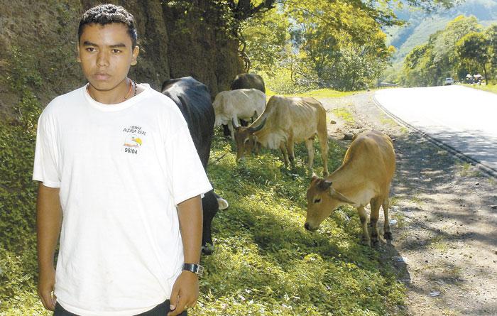 Las vacas ahora pastan junto a las carreteras, a falta de pastizales dentro de las fincas, en el centro de Nicaragua. LA PRENSA/ M. LORÍO