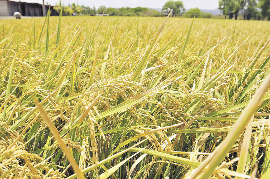 La variedad INTA Fortaleza Secano  produce un arroz de alta calidad, de grano largo y mayor rendimiento.