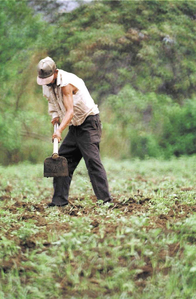 Los productores  agremiados en Upanic dicen que el aporte del sector agropecuario es mayor del señalado por el Gobierno.. LA PRENSA/ARCHIVO