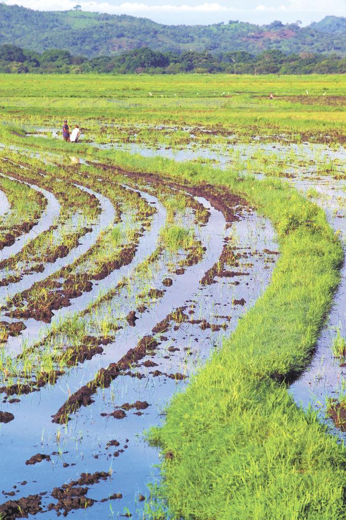 Producción de arroz aumenta