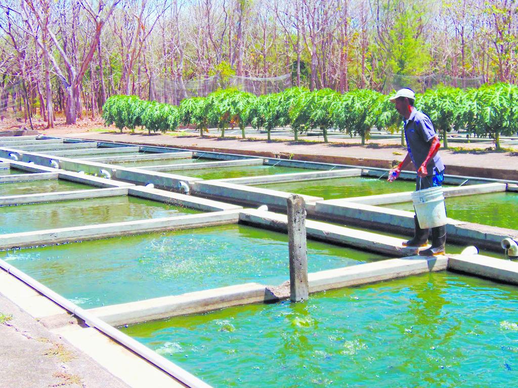 El reinado de la tilapia la prensa for Cria de tilapia en estanques plasticos