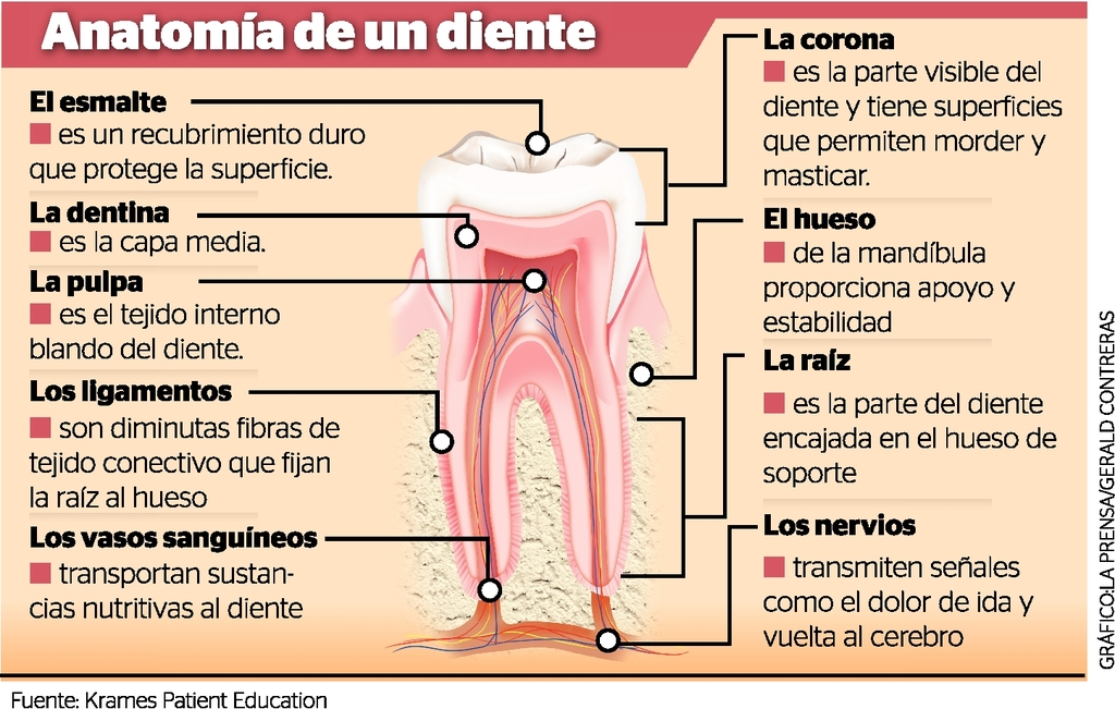 Lujoso Muelas Del Juicio Anatomía Colección de Imágenes - Imágenes ...