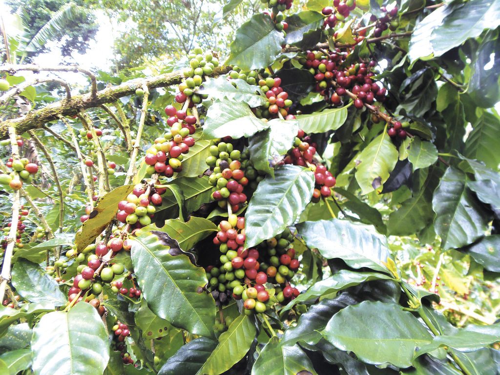 Brasil dispara precio del café