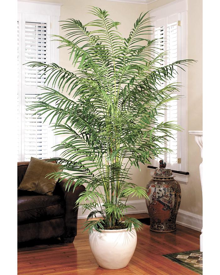 Palmeras para decorar el jard n y el hogar la prensa - Tipos de palmeras de interior ...