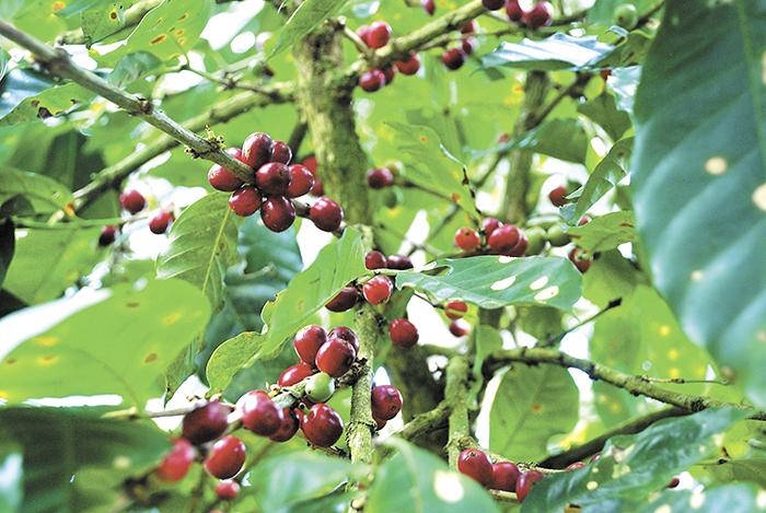Sigue adaptación del café
