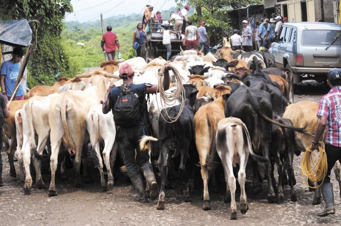 Caen ventas de ganado en pie en Nicaragua