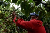 Costa Rica necesita 70 mil cortadores de café