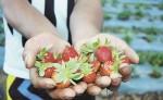 El señor Victorino Castro, en conjunto con la doctora Ivonne Castellón,  tiene aproximadamente una manzana sembrada de fresas, las que cultiva de manera tecnificada.  LA PRENSA/S.RUIZ