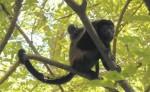 A los monos congo que aún habitan en zonas boscosas de Rivas  los podrían estar matando por cacería, dice el Ministerio del Ambiente y los Recursos Naturales. LA PRENSA/R. VILLARREAL