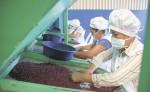 Mujeres de una cooperativa productora de frijoles para exportación mejoraron su rendimiento en sus labores pasando de limpiar dos quintales al día a ocho quintales diarios.  LA PRENSA/L.MARTÍNEZ