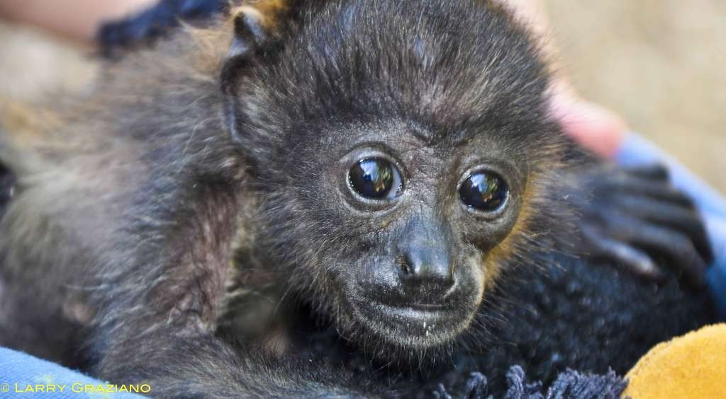 Los monos bebés son las víctimas más vulnerables a los efectos del cambio climático.