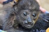 Primates estaban en Centroamérica hace 21 millones de años