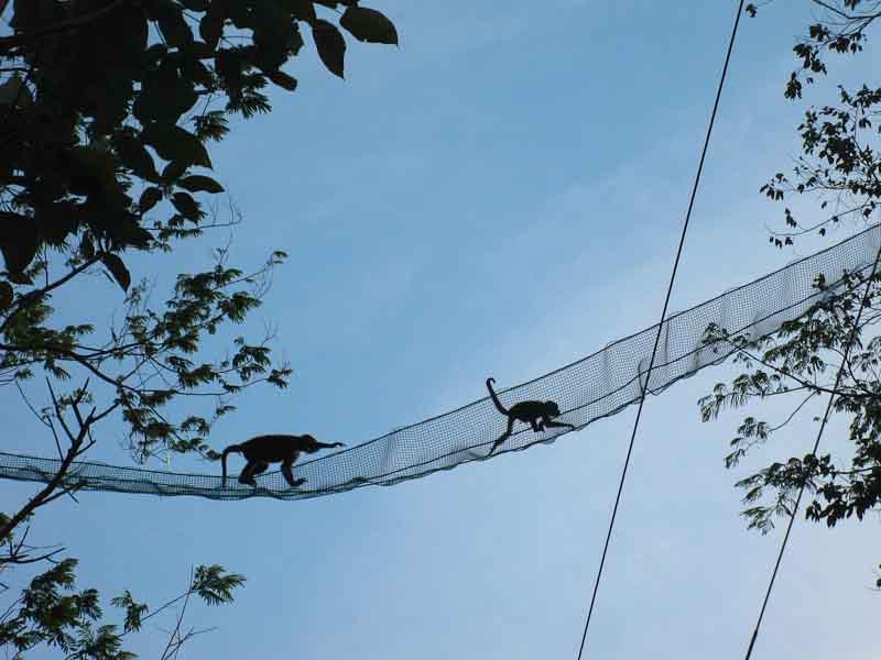 Los puentes ayudan a muchos monos a evadir los cables eléctricos.
