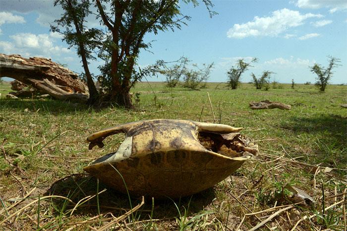 Las tortugas de playa conocidas también como ñoca mueren en su intento por regresar al lago Cocibolca, después de desovar, ya que se ha retirado en gran manera de la orilla.