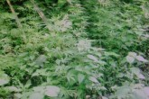 Policía incauta marihuana y detiene a presuntos delincuentes en Nicaragua