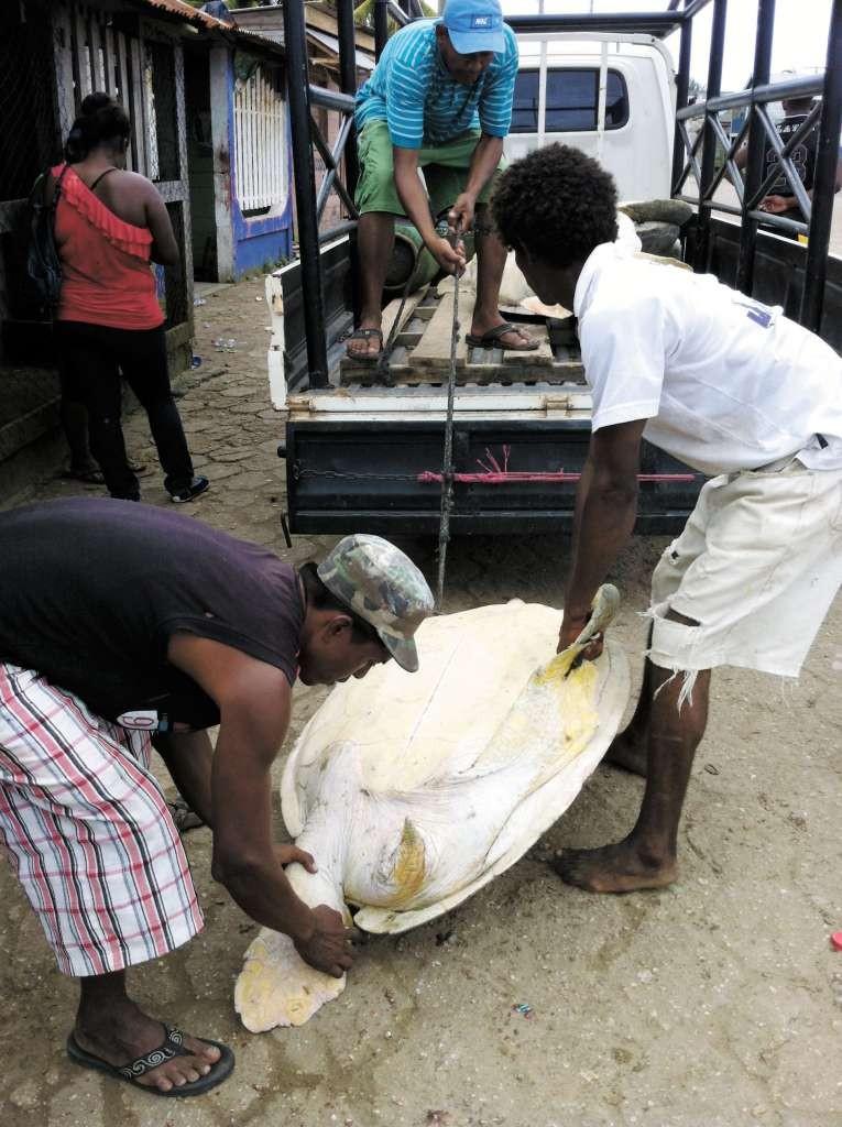 A pesar de la veda su carne se consigue en los mercados. LA PRENSA/ O. NAVARRETE