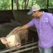 Porcicultura nicaragüense con retos que superar