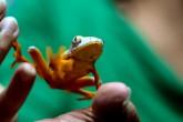 Sapo, una especie que abre camino a la biomedicina en Ecuador