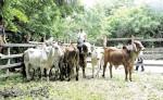 La escasez de pasto y la falta de lluvias han obligado a los productores  a diversificar la alimentación y vender parte del ganado de sus fincas en Madriz. LA PRENSA/ W.ARAGÓN