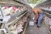 Granjas avícolas de Nicaragua en jaque por contrabando de huevos
