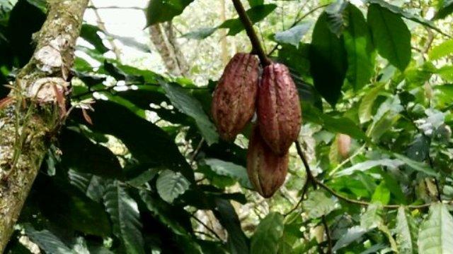 cacao nicaragüense