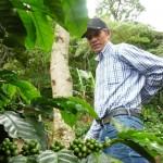 Cosecha de café en Nicaragua avanza a buen paso