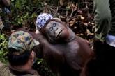Orangután de Borneo al borde de la extinción