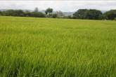Siembra de arroz  inicia clamando agua