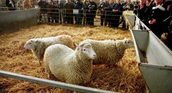 Clones de la oveja Dolly envejecen con buena salud