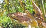 El maíz es afectado por el gusano cogollero. Solo un productor, en Santa Rosa, se aventó a sembrar ese grano. LA PRENSA/M. GARCÍA