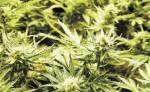 Los veterinarios no están autorizados a recetar marihuana, pero eso no impide que organizaciones como la Cámara de Comercio de Cannabis en Colorado promuevan la venta de productos para mascotas en los dispensarios de marihuana en este estado. LA PRENSA/ARCHIVO