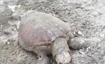 Desde tempranas horas de la mañana del miércoles los pobladores y pescadores de Astilleros  encontraron varias tortugas muertas en las costas del Pacifico, sin tener una idea clara que está matando a los quelonios. LA PRENSA/ CORTESÍA