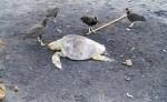 La aparición de tortugas  muertas en playas de Tola ha desencadenado una investigación oficial. LA PRENSA/CORTESÍA