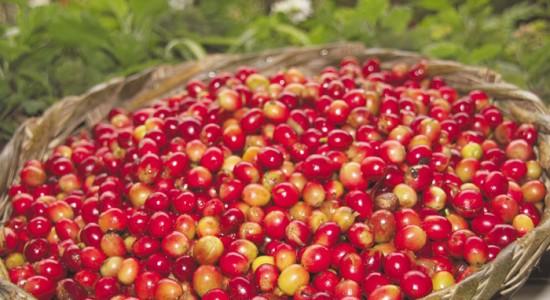 Avanza cosecha de café en zonas bajas