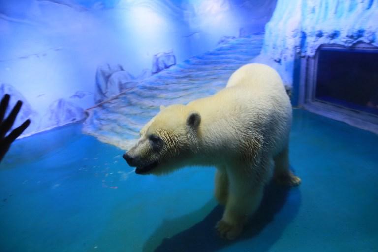 oso polar, oso polar pizza, China, animales de alquiler