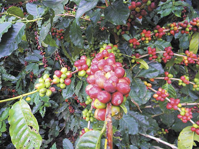La cosecha de café en varios municipios de Jinotega se está perdiendo por varios factores, entre estos, el clima. LA PRENSA/S. RUIZ